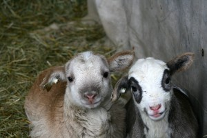 Four Hills Farm lamb bottle babies