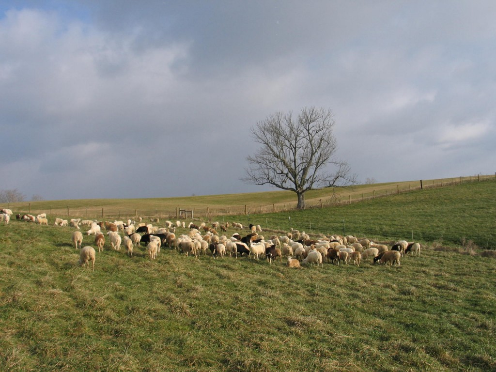 In the fall, the fescue sweetens