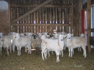 Healthy Katahdin Lambs