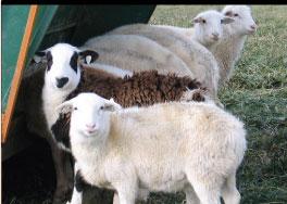 About Katahdin Sheep - Four Hills Farm